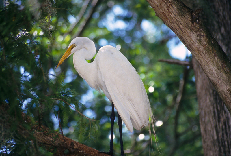 The snowy egret will walk slowly through streams and ponds looking for small fish.  They are stealthy and use their feet to stir up the muddy bottom to find prey.