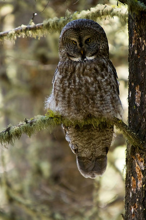 A great gray owl searches the forest floor