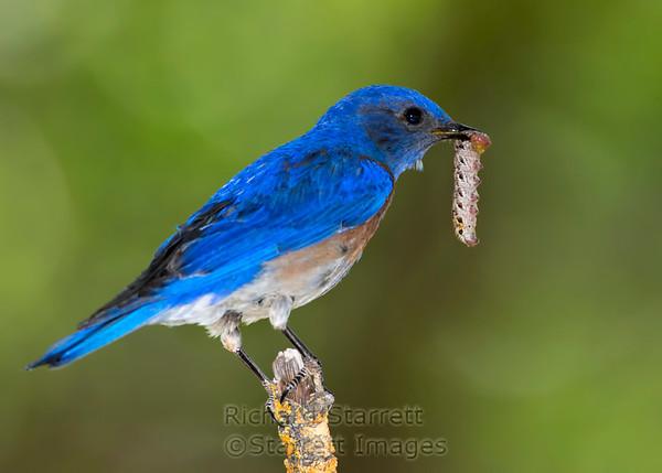 Western Bluebird (male) carrying a caterpillar.