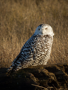 Snowy owl at Boundary Bay, Canada.