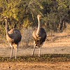 2 pairs of Ostrich, males are black, females are grey/brown