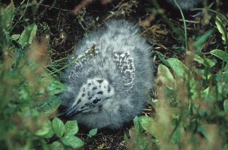 A herring gull chick with small wings beginning to sprout.