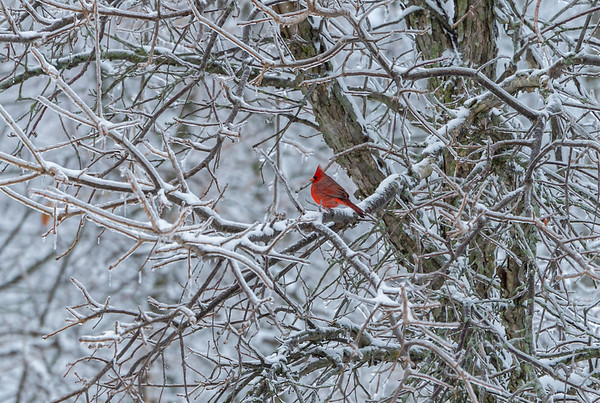 Cardinal Standing Out