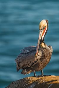 Grooming Time - Brown Pelican