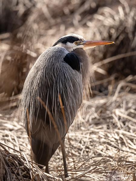 Bird of the Day: Great Blue Heron - seen on a walk this morning at Hawley Cove Park, Bainbridge Island.