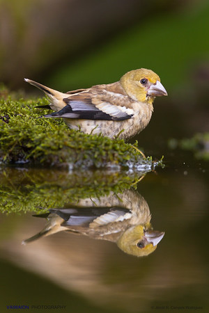 Young hawfinch and reflection.