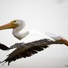 White Pelican in flight.
