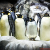 The majestic Emperor Penguins with their smaller buddy a Gentoo Penguin standing between them