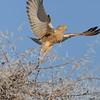 Steppenfalke fliegt auf, dornige Zweige, Greater Kestrel, Falco rupicoloides, Etosha National Park, Namibia