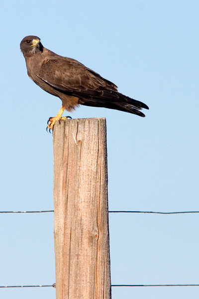 A Dark Morph Swainson's Hawk