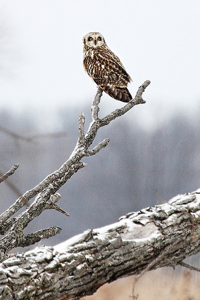 Image #7837<br /> Short-Eared Owl ~ Niagara County<br /> New York State Listed - Endangered Species