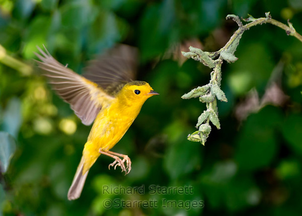 Wilson's Warbler feasting on aphids