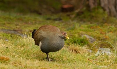 Tasmanian Native-Hen at Cradle Mountain Waldheim Hut