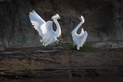 Snowy Egrets Spring 2018-7