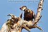 Golden Eagle near McGregor Lake, Montana
