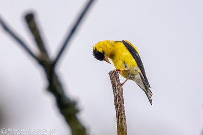 American Goldfinch 1 (male)
