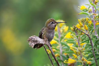 Anna's Hummingbird - Female (Calypte Anna)