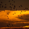 Canada geese return home in a gathering storm