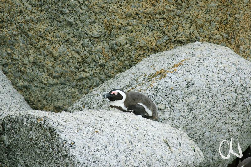 Brillenpinguin, African Penguin, Jackass Penguin, Spheniscus demersus, Boulder Beach, Simonstown, South Africa, Südafrika