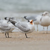 Royal Tern (Thalasseus maximus)