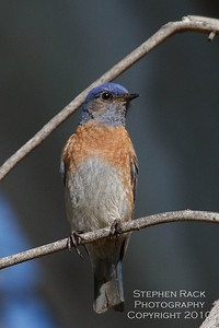Western Blue Bird, Skinner Lake, CA
