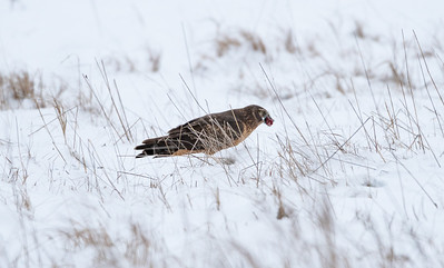 Northern Harrier Eating Dinner