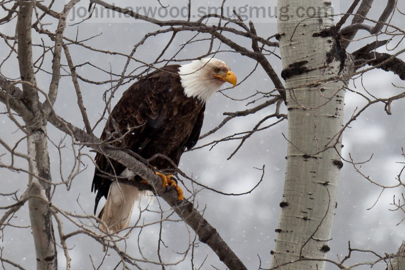 Bald Eagle near Libby, MT