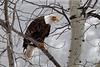 Bald Eagle near Libby, MT