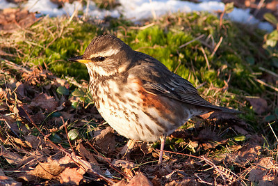 Redwing, Cannock Chase