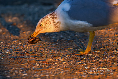 California Gull (Larus Californicus)