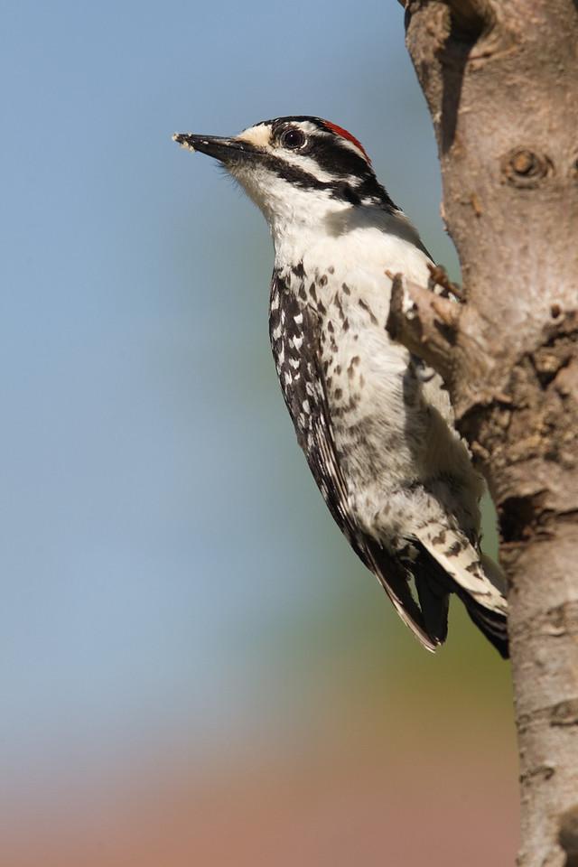 Nuttall's Woodpecker with a Head Turn