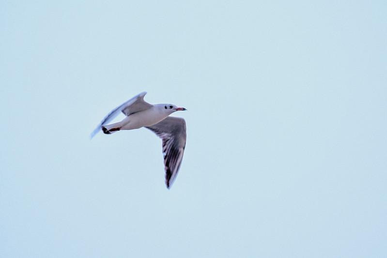 Seagull ...