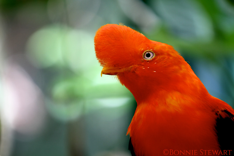 Andean Cock-of-the Rock, National Bird of Peru