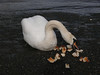 Swan at Renfrew.<br /> 28th March 2010.