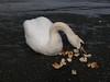 Swan at Renfrew.<br /> 28th March 2010.