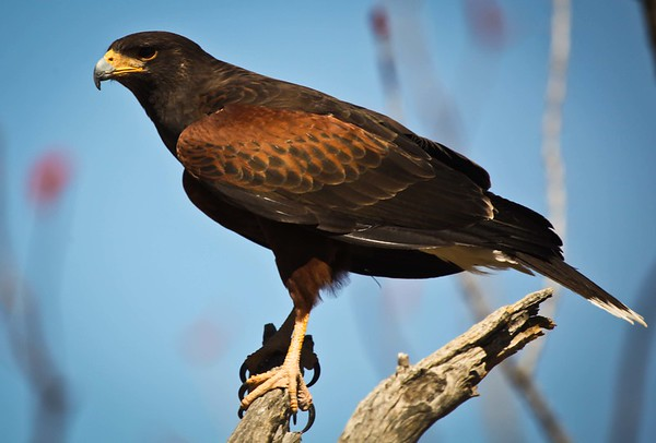 Harris Hawk, in Tucson.
