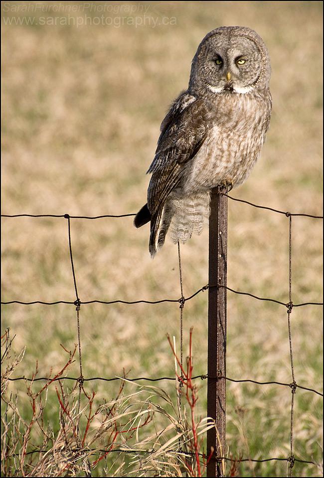 Great Grey Owl <i>Strix nebulosa</i>