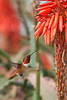 HUmming_bird_Laguna_CA-262