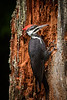 Pileated Woodpecker in our back yard.