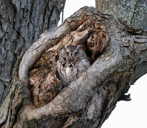 Grey Screech Owl