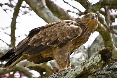 Eagle - Tawny Eagle
