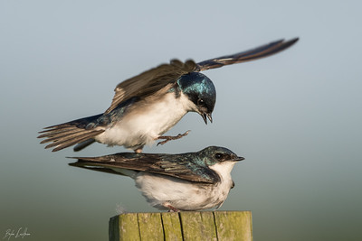 Tree Swallow_2017-0495
