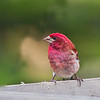 A Purple Finch (Carpodacus Purpureus) found at a feeder during the Spring in Northern Minnesota.