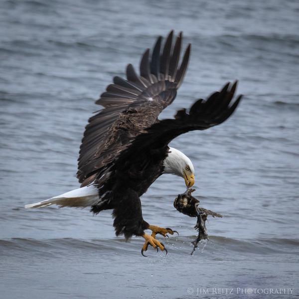 Bald Eagle stealing a fish carcass from some seagulls - Bainbridge Island
