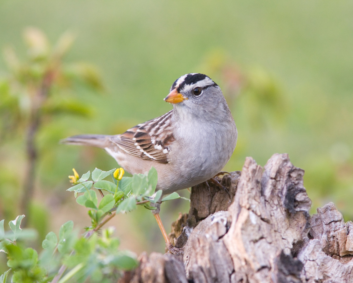 White-crowned Sparrow with Flowers
