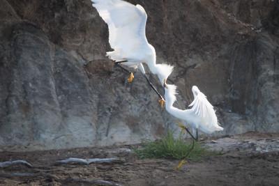 Snowy Egrets Spring 2018-11