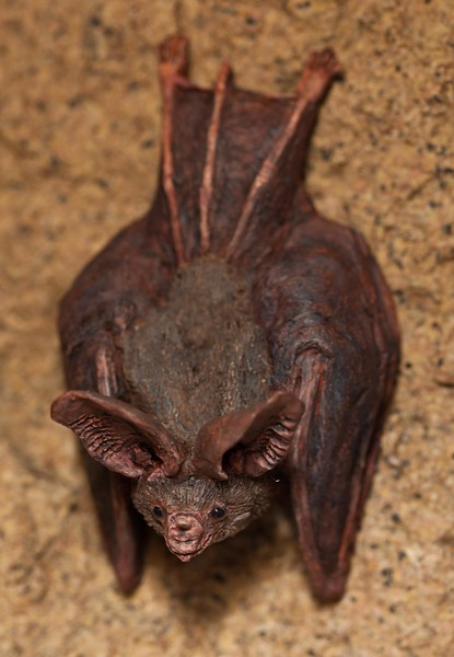 Hog nose bat from California