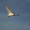 Elegant Tern (Thalasseus elegans)