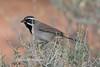 Black-throated Sparrow-0856