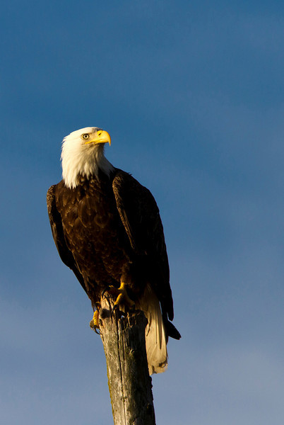 This bald eagle was perched on the shoreline near Seward, Alaska
